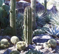 Cactus Cactaceae In Depth